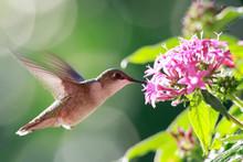 Ruby-throated Hummingbird Feed...