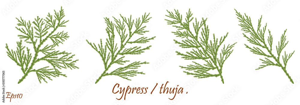 Fototapety, obrazy: green cypress branch with cones. Cypress twig with growing cones isolated on white background. Cupressus.Eps 10