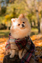Red Pomeranian German Spitz Sits On A Stump In Autumn Foliage With A Checkered Scarf. Clover Flying Leaves, Autumn Card With Copy Space.