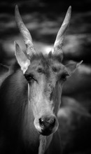 The Common Eland, Also Known A...