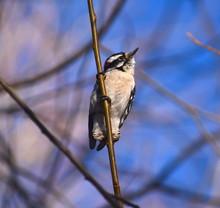 Downy Woodpecker On Branch