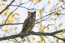 A Great Horned Owl Perched In ...