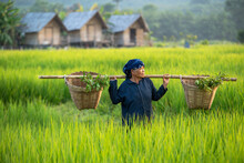 Asia Farmer Harvesting Rice In Countryside Thailand.