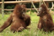 Two Orangutan Children Are Eat...