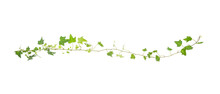 Green Ivy Isolated On A White ...