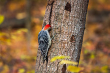 Red-bellied Woodpecker Searching For Insects In Tree