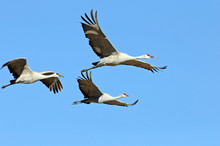 Sandhill Cranes Flying Against...