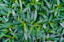 Green Leaves Pattern,leaf Tradescantia Spathacea Or Boat Lily, Candle Lily In The Garden