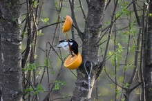 Male Red Breasted Grosbeak Eating An Orange