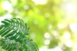 Green leaves pattern for summer or spring season concept,leaf of monstera with bokeh textured background