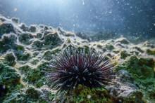 Underwater Sea Urchins On A Rock, Close Up Underwater Urchins