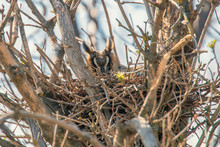 Long Eared Owl Nesting (Asio O...