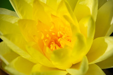 Yellow Water Lily Flower - Close-up