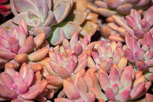 Pink Succulent Plants With Water Drops