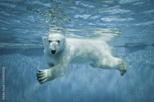 Poster Polar bear portrait of large white polar bear in underwater