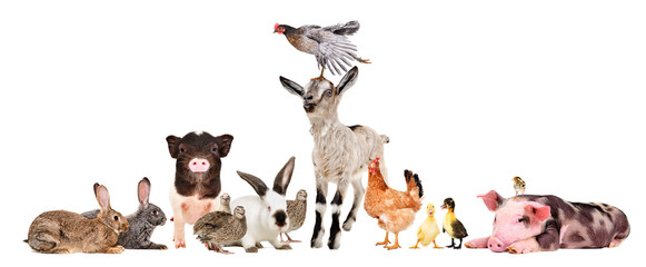 Group of cute funny farm animals together isolated on white background