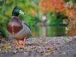 canvas print picture Mallard Duck