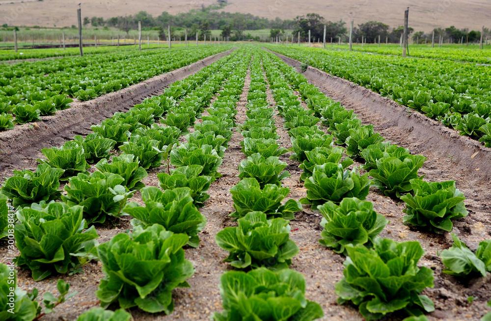 Fototapeta Rows of lettuce on an organic farm