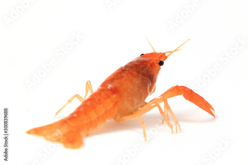 Fotografiet Freshwater crayfish  (Procambarus clarkii) isolated on white background