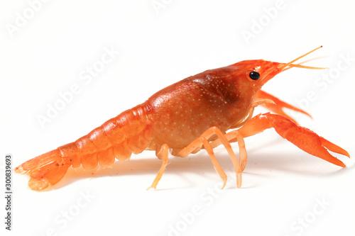 Canvastavla Freshwater crayfish  (Procambarus clarkii) isolated on white background