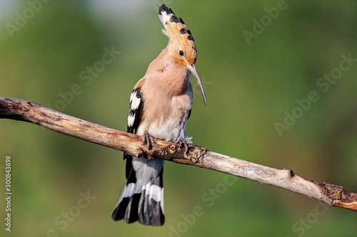 spring hoopoe sings a song while sitting on a branch