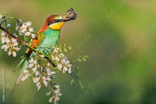 wild bird sits on a branch in robinia flowers with a butterfly in its beak