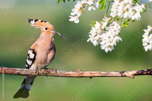 Foto op Aluminium Vogel wild bird with a crest on its head sits in the flowers of a robinia