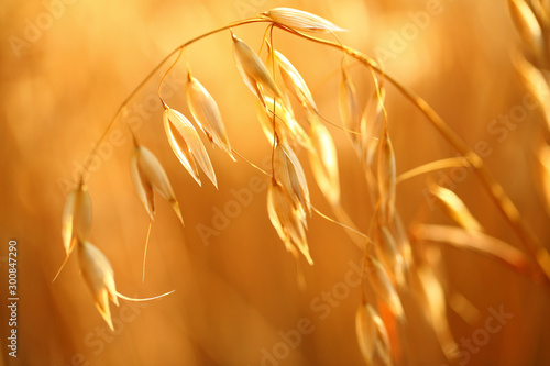 oat field Canvas Print