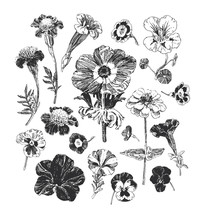 Botanical Graphics, Collection Of Hand Drawn Flowers Such As Marigold, Petunia, Pansies And Anemone