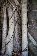 Close Up Of Tree Roots