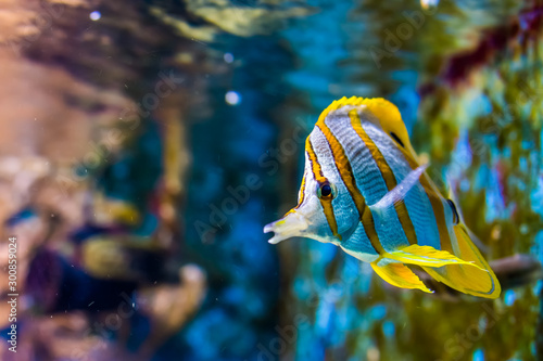 Valokuva copperband butterfly fish swimming by, tropical animal specie from the pacific o