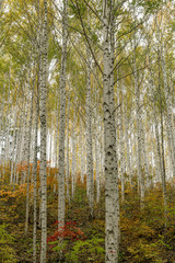 Obraz na Szkle Las A grove of birch trees with autumn foliage