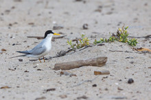 California Least Tern, Sternula Antillarum Browni, An Endangered Subspecies