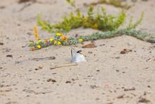 California Least Tern, Sternula Antillarum Browni, An Endangered Subspecies