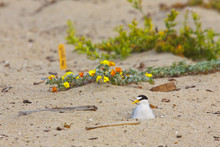 California Least Tern, Sternula Antillarum Browni, Sitting On Eggs In Sand