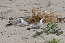 California Least Tern, Sternula Antillarum Browni