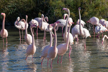 Group Of Greater Flamingos, Phoenicopterus Roseus, In The Camargue In France