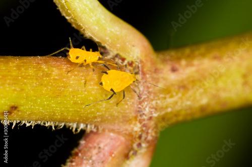 Photo Yellow Milkweed Aphid, Aphis nerii