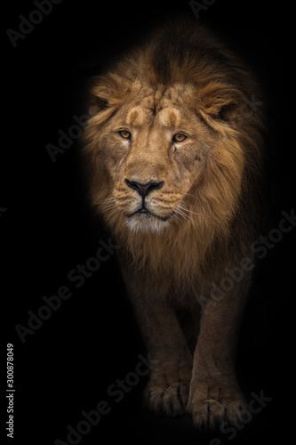 Fototapety, obrazy: Lion male is a large predatory strong and beautiful cat with a magnificent mane of hair.