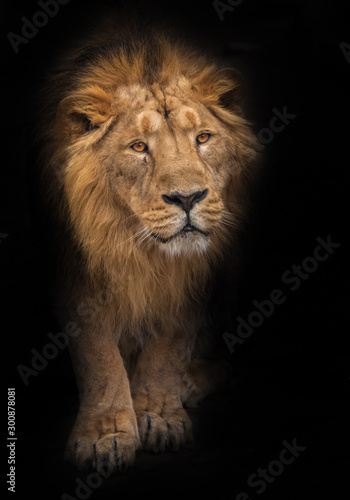 Fototapety, obrazy: Way out of the night. Lion is a large predatory strong and beautiful cat with a magnificent mane of hair. isolated black background