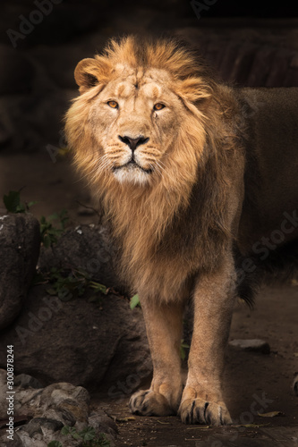 Fototapety, obrazy: proud lion dark background. Lion is a large predatory strong and beautiful cat with a magnificent mane of hair.