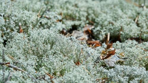 Photo Lichen Cladonia rangiferina