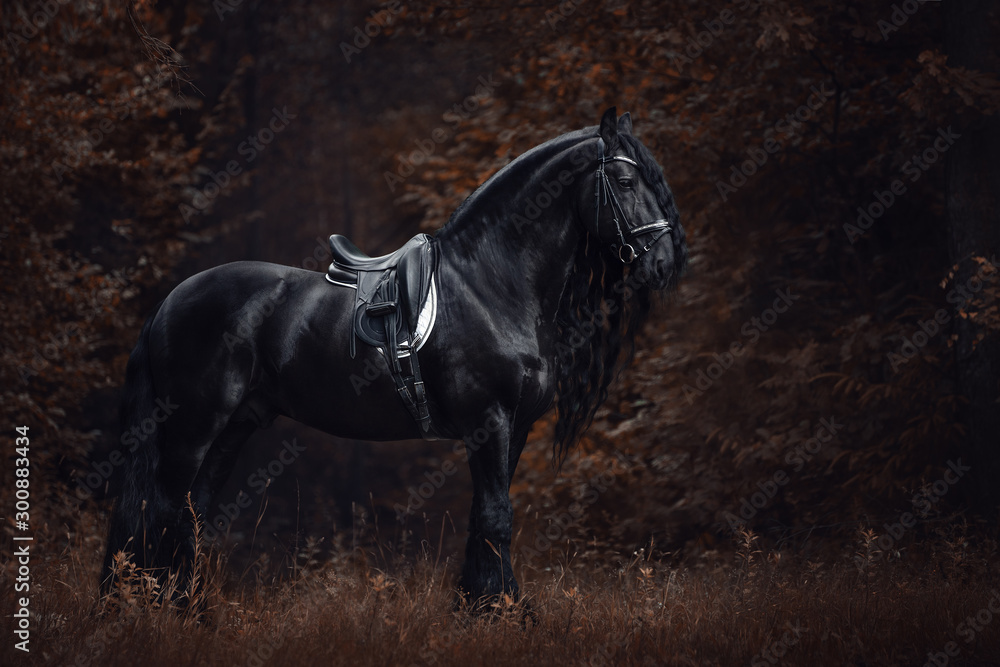 Fototapeta portrait of stunning elegant sport dressage friesian stallion horse with long mane and tail standing on ground in forest in autumn landscape