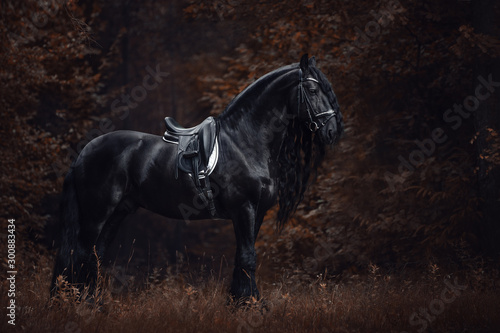 Foto auf Leinwand Schokobraun portrait of stunning elegant sport dressage friesian stallion horse with long mane and tail standing on ground in forest in autumn landscape