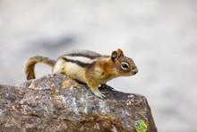 Small Chipmunk In Alberta Canada