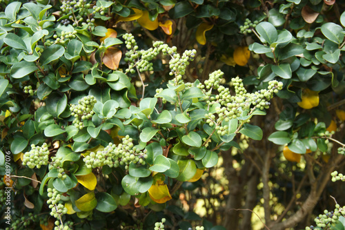 Fototapeta Commiphora wightii, with common names Indian bdellium-tree or Mukul myrrh tree, is a flowering plant in the family Burseraceae
