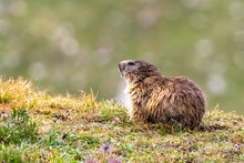Marmotta Isolata Gran Paradiso