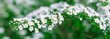 Spring floral panoramic background - Tree branches with small white flowers on a green background