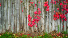 Plant On Wood Fence In Autumn....