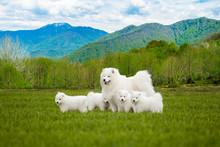 Samoyed  Dog With Puppies. Portrait Of Beautiful  Dogs On Beautiful Landscape.